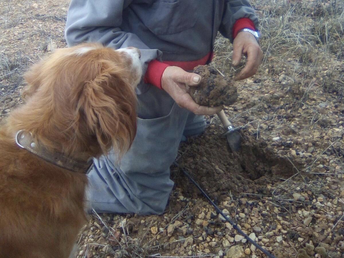 Febrero, mes de la trufa en Soria