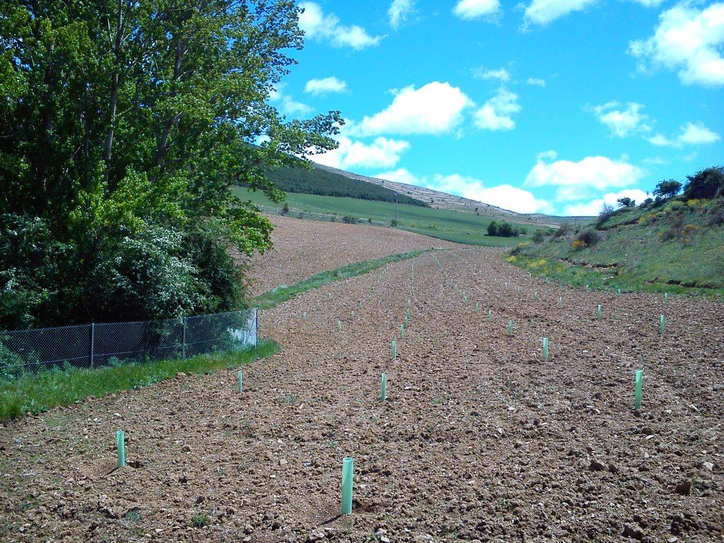 Plantación trufera en Villaseca, Soria
